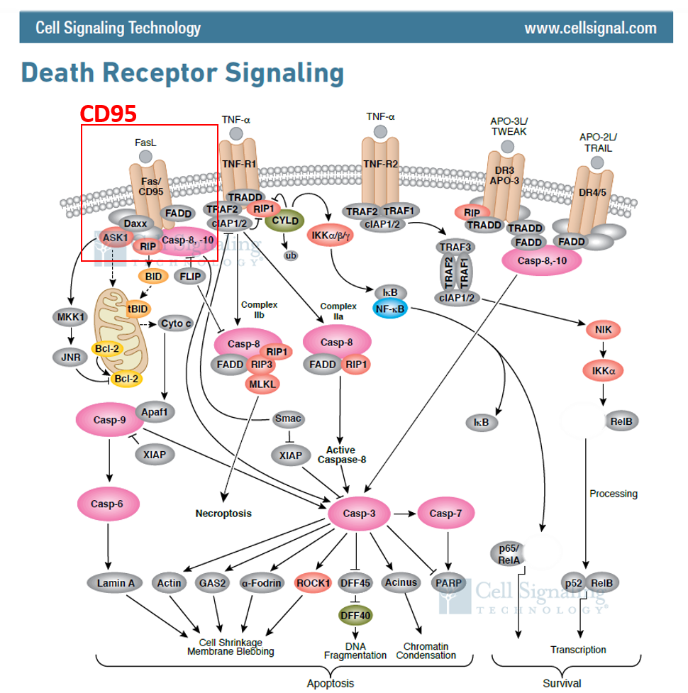 death receptor signaling pathways