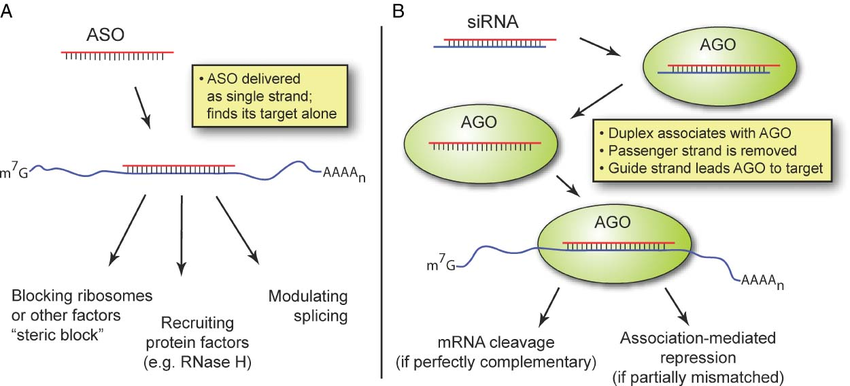 Disrupting lncRNA function - How ASOs and siRNAs downregulate RNA