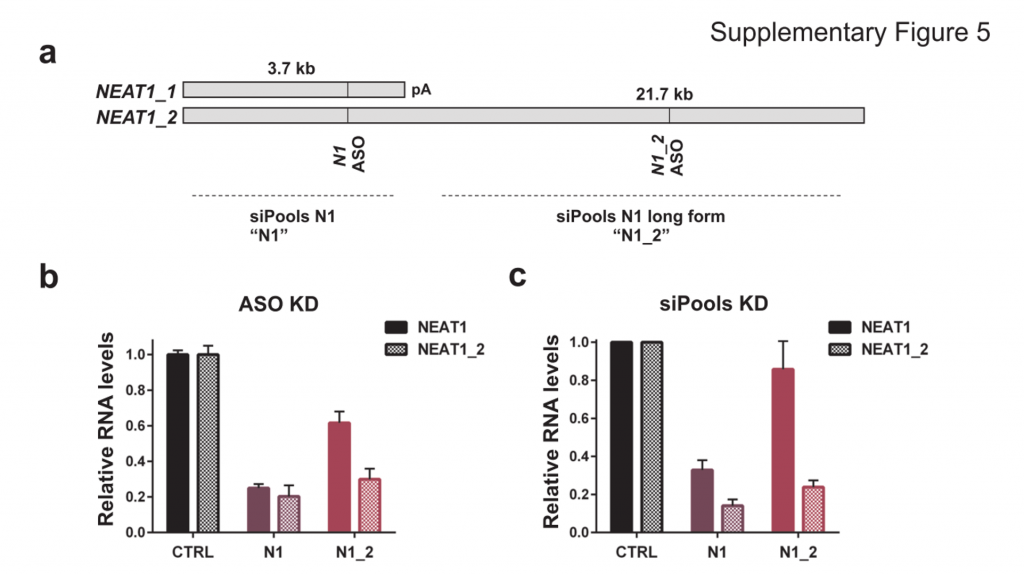 Disrupting lncRNA function - Downregulation of lncRNA NEAT1 with siPOOLs and ASOs