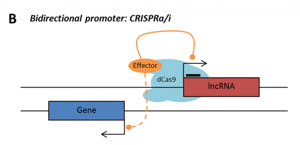 LncRNA with bidirectional promoter