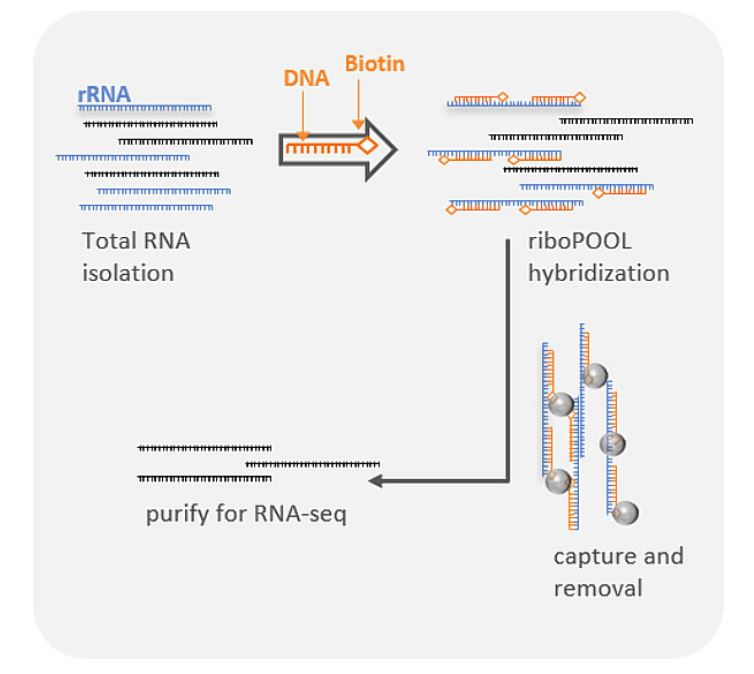Physical rRNA removal workflow